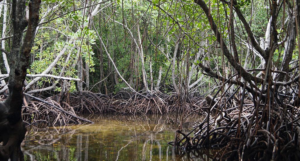 lembongan_mangroves