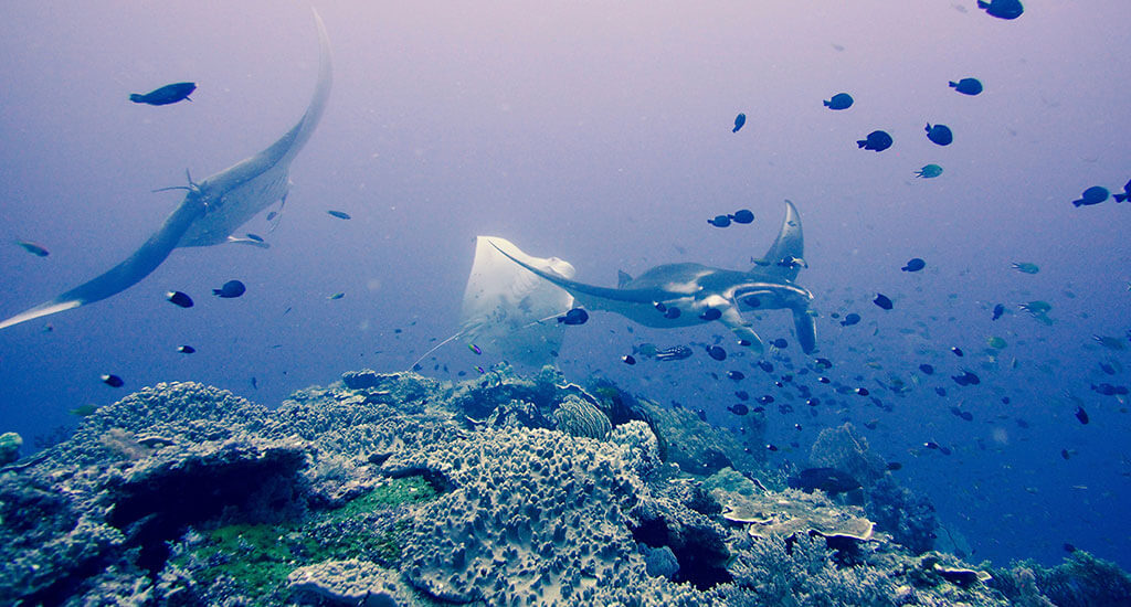 Misool Diving Manta